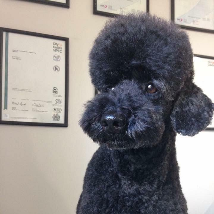 Pudding my precious Miniature Poodle.